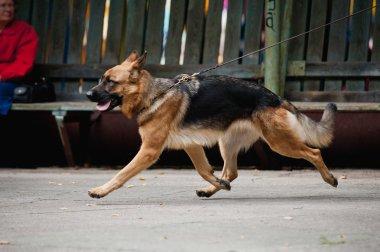 Shepherd runs trot on a leash