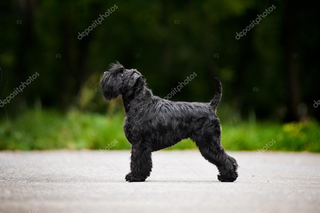 Young Miniature Schnauzer is standing in profile