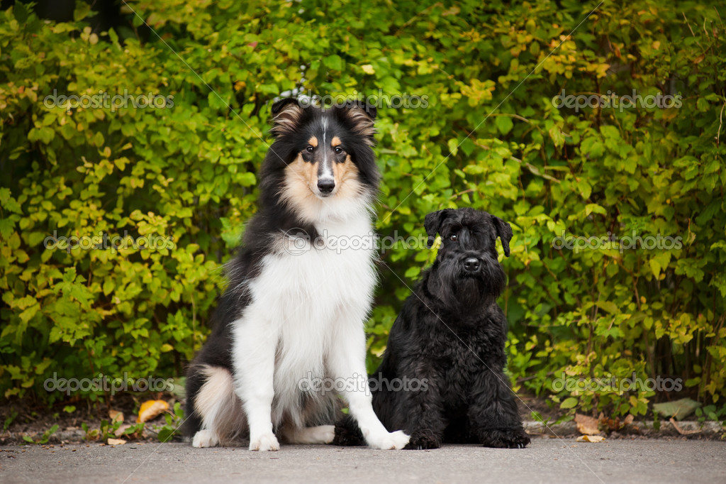 Young puppies collie and Miniature Schnauzer