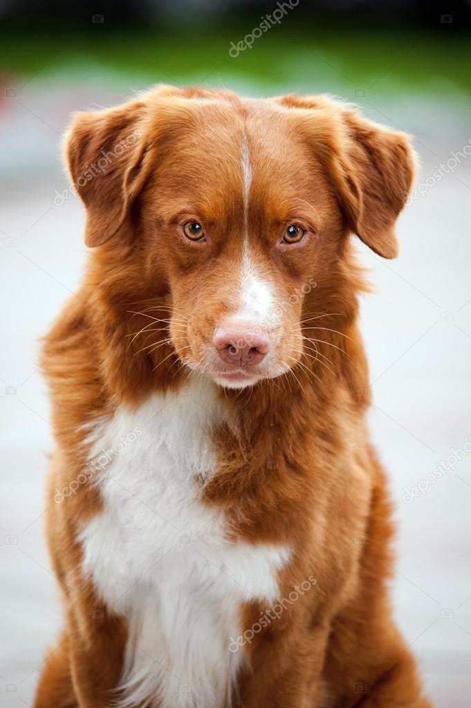 golden retriever toller hund sieht in die kamera stockfoto ksuksann 13919795. Black Bedroom Furniture Sets. Home Design Ideas