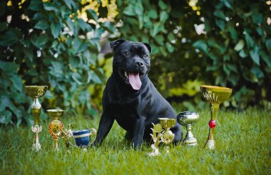 Proud dog Stafford Terrier with medals