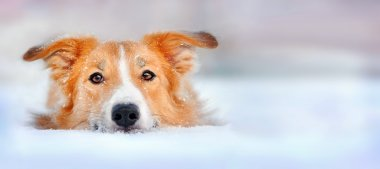 Cute dog border collie lying in the snow