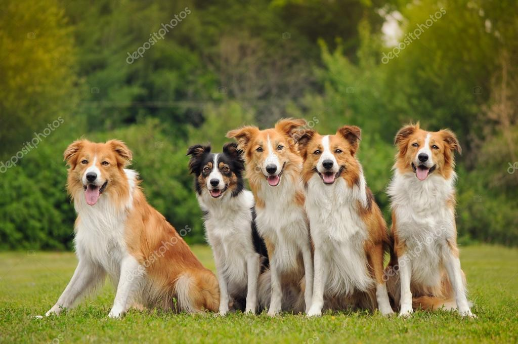 Group of five happy dogs border collie