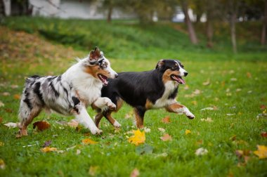 two Australian Shepherds play together