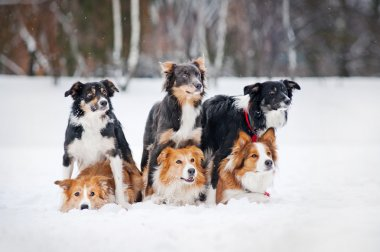 six border coolie dogs portrait in winter
