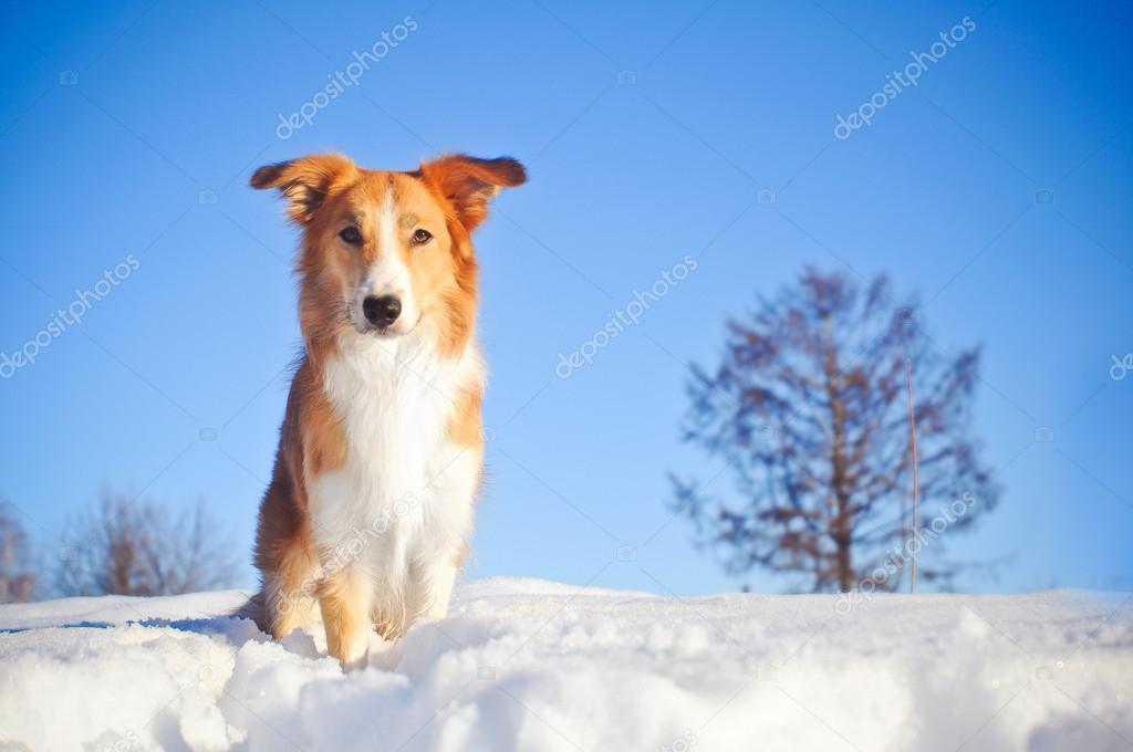 dog border collie in winter