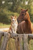 červená border kolie pes a kůň