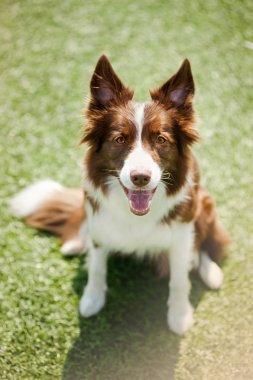 Happy border collie dog