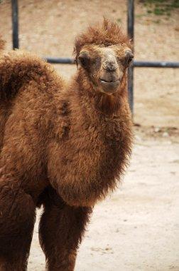 Baby Bactrian camel