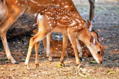 Sika deer cub