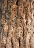Fotografie Bark of the Nine Dragon Juniper (Juniperus Chinensis)
