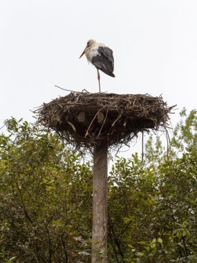 White stork (Ciconia ciconia) standing on its nest