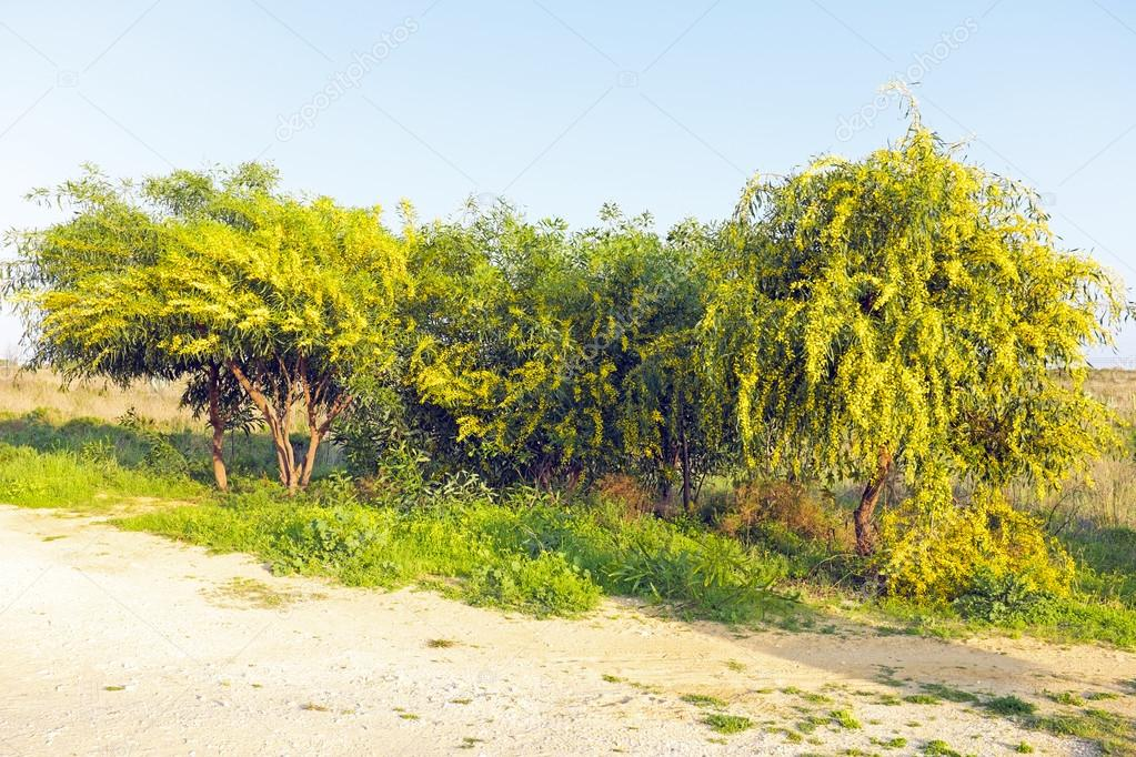 фото дерева мимоза
