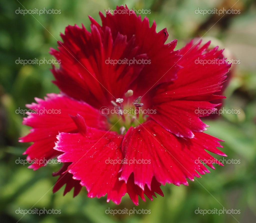 Dianthus Chinensis China Pink Is A Species Of Dianthus Native To