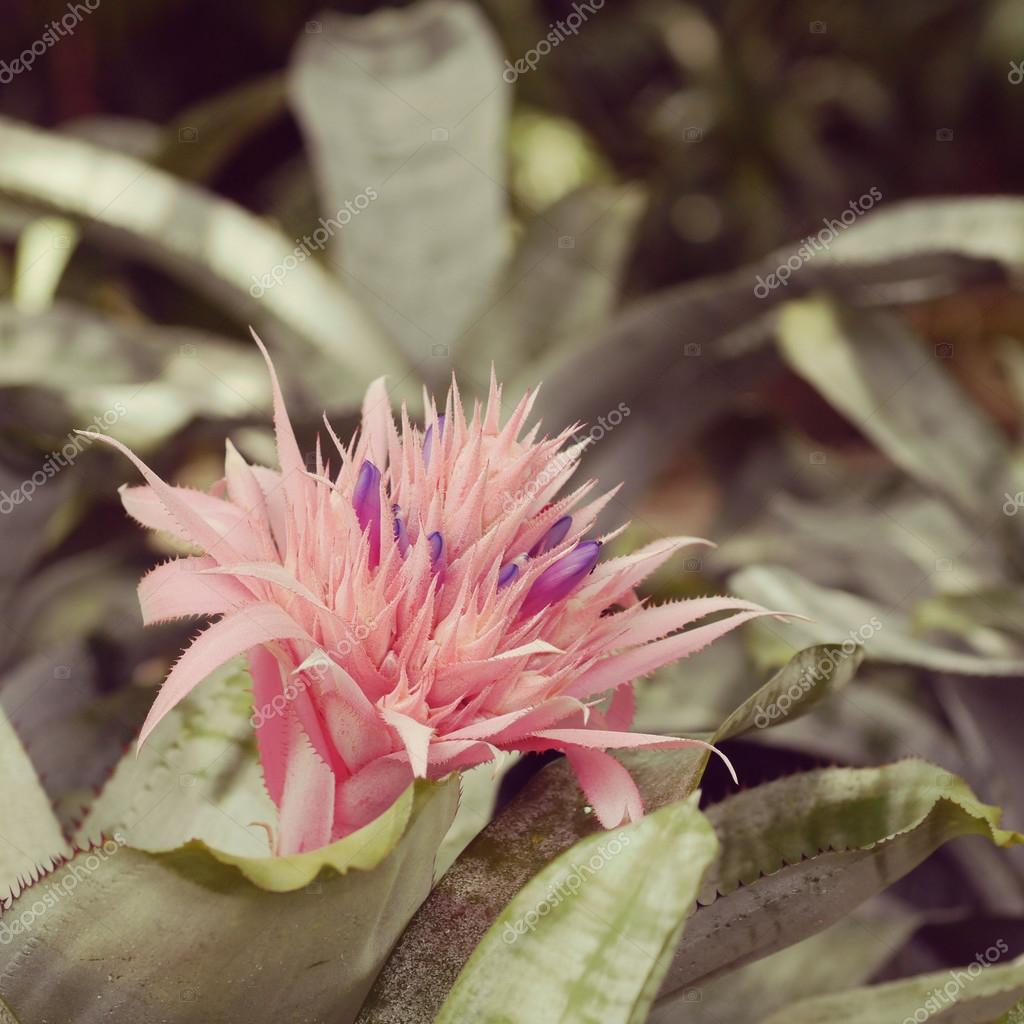 Pink Bromeliad Flower Old Retro Vintage Style Stock Photo