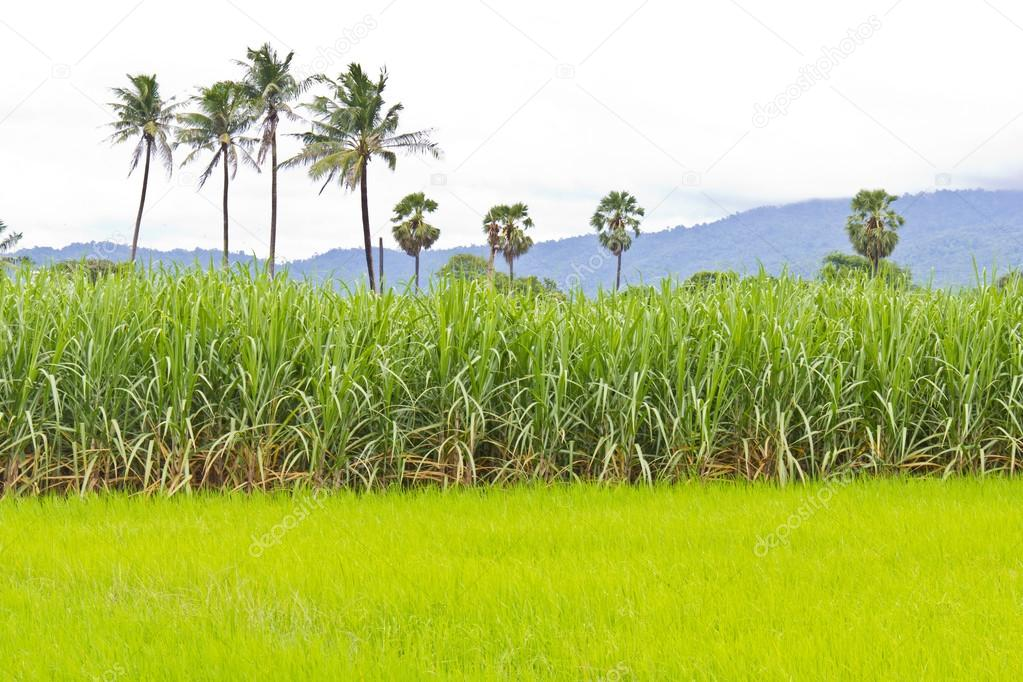 Sugarcane field and rice field