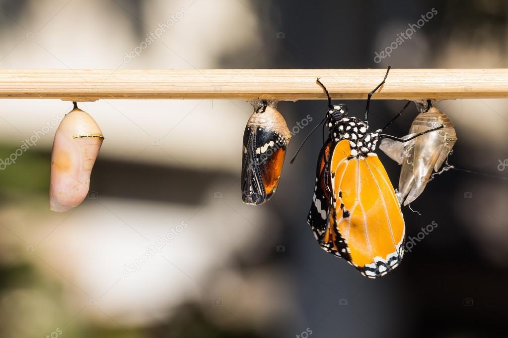 The Plain Tiger (Danaus chrysippus chrysippus) butterfly