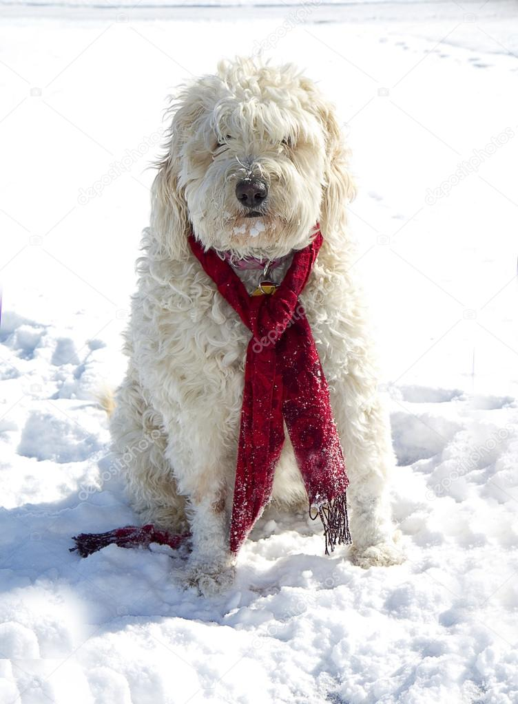 Golden Doodle Dog in Snow