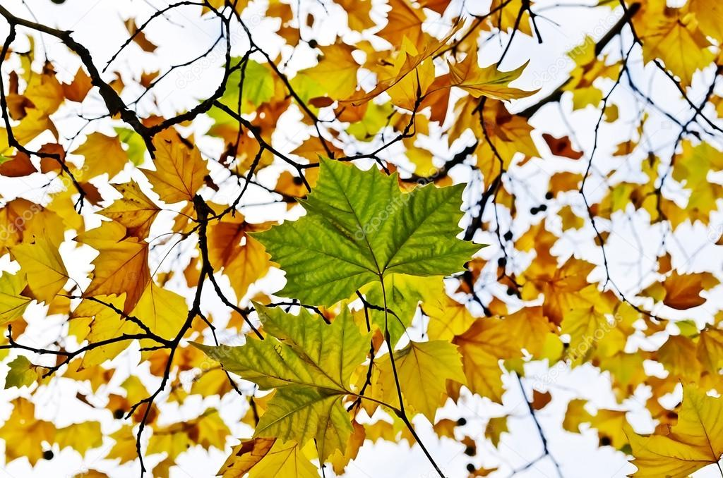 the multi colored maple leaf Maple leaf pictures size (w x h) in pixels.