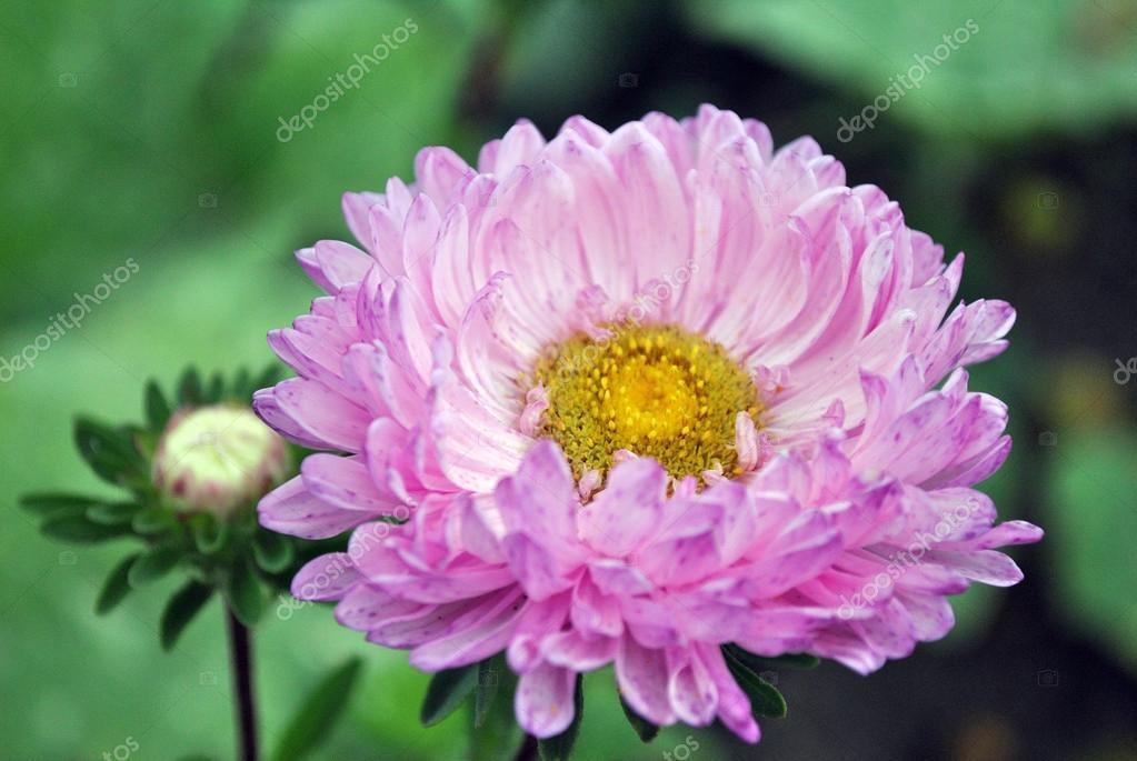 Flor De ásteres Branco Rosa Com Miolo Amarelo Stock Photo