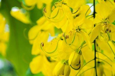 Close up Purging Cassia or Ratchaphruek flowers ( Cassis fistula