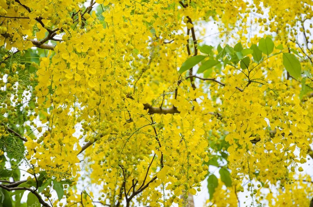 träd med gula blommor