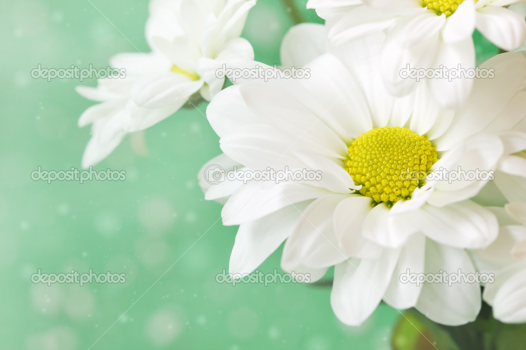 57aecdec08059 Cute chamomiles on a delicate green background — Stock Photo ...