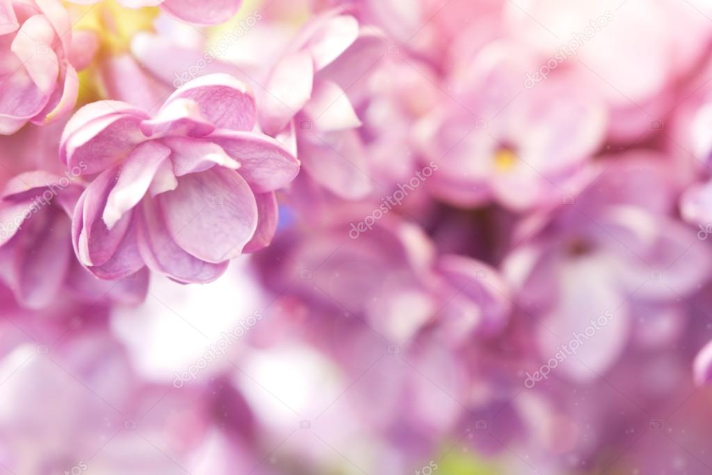 Delicate lilac flower close up