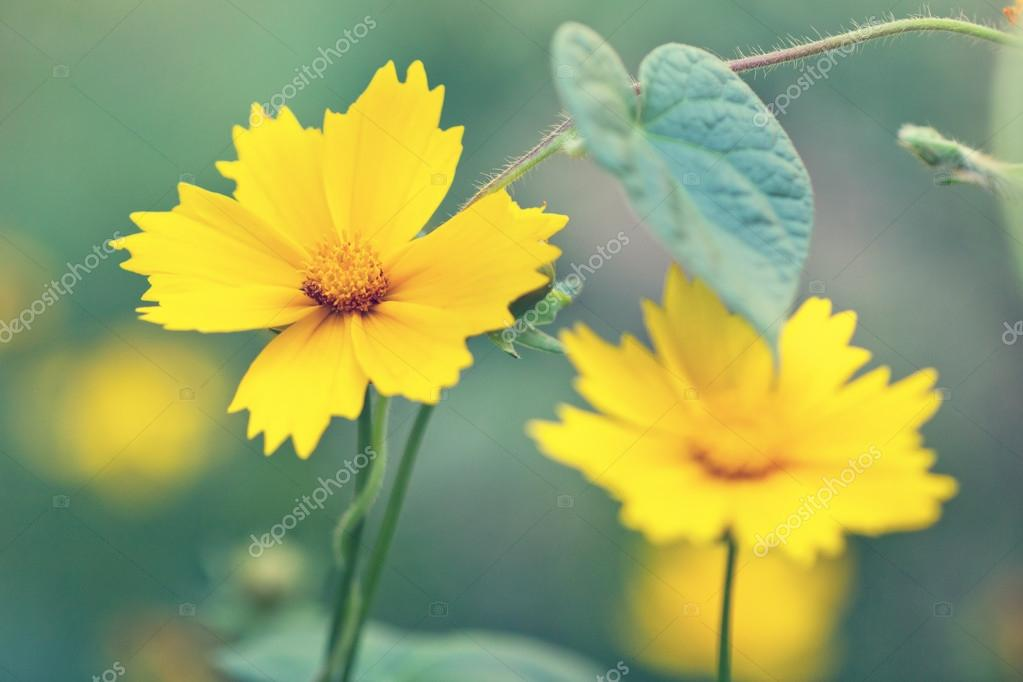 Cute yellow flowers in a fog stock photo abigail210986 50258227 cute yellow flowers in a fog stock photo mightylinksfo