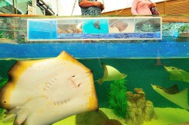Eagle Ray in aquarium