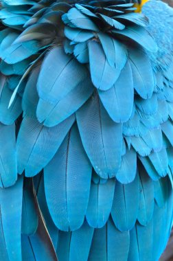 Feather of a blue macaw parrot.