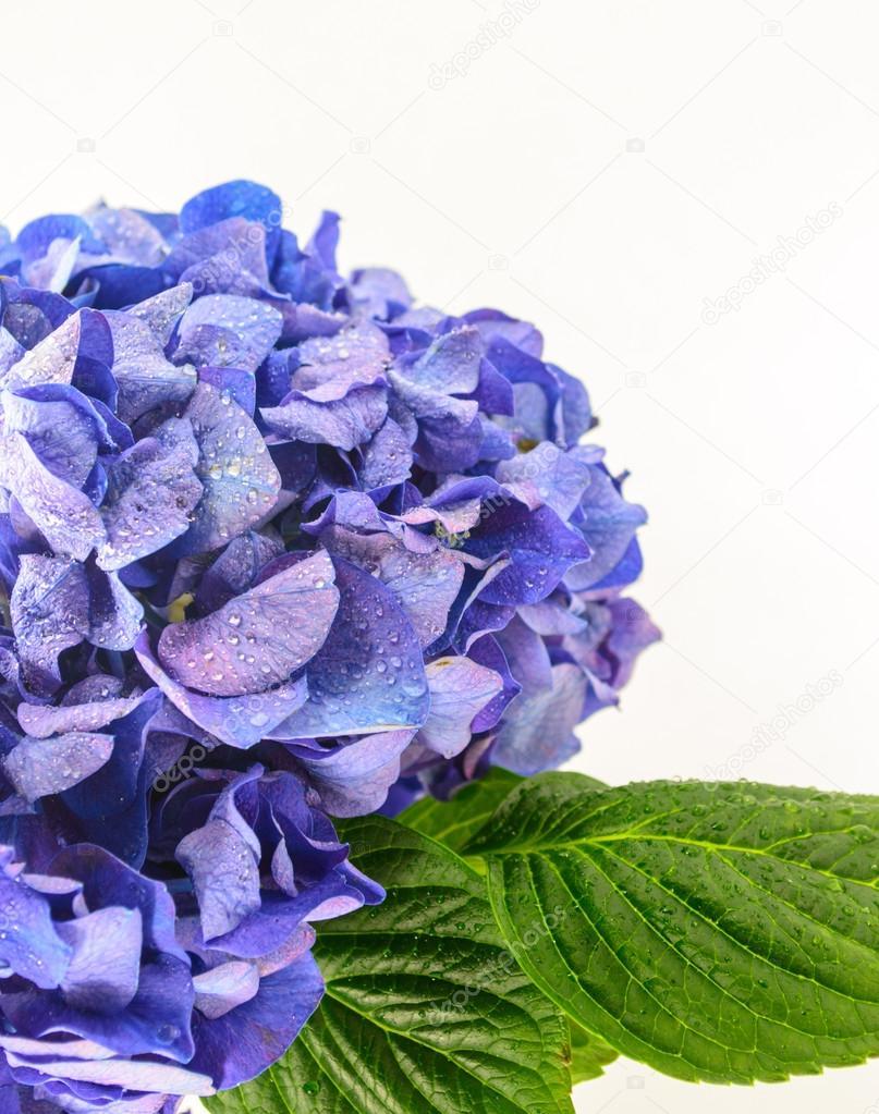 Blue Hydrangea Flower isolated on white background.