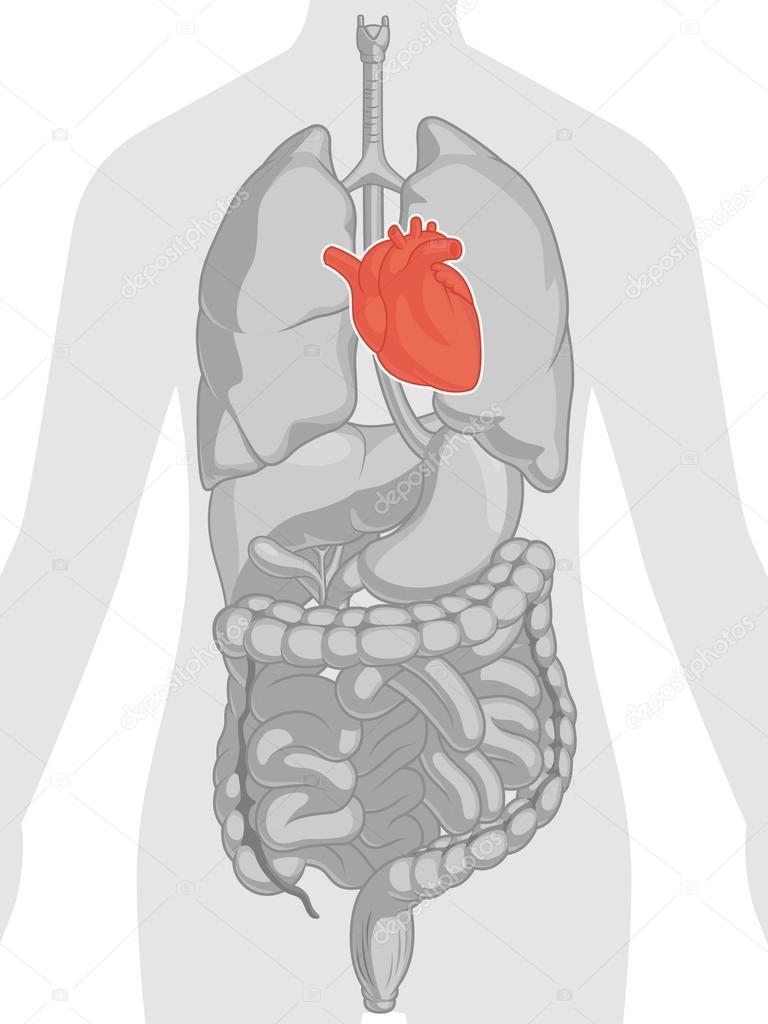 Anatomía del cuerpo humano - corazón — Vector de stock © BluezAce ...