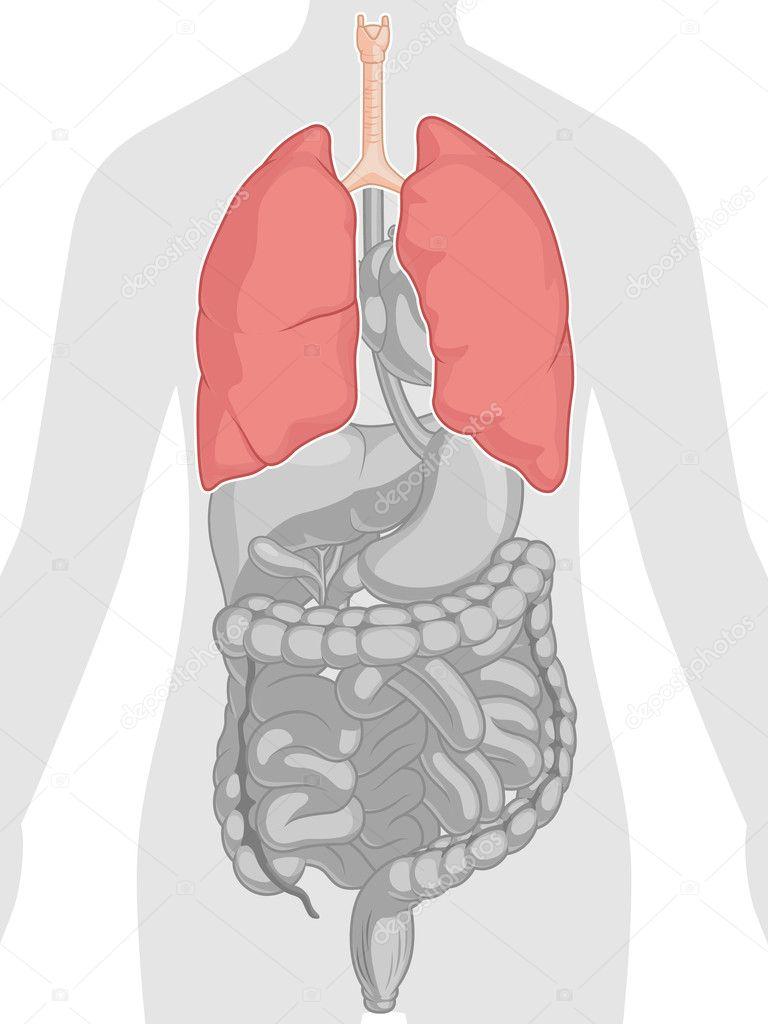 Anatomía del cuerpo humano - pulmones — Archivo Imágenes Vectoriales ...