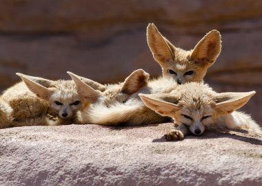 Group of Fennec Foxes Morocco