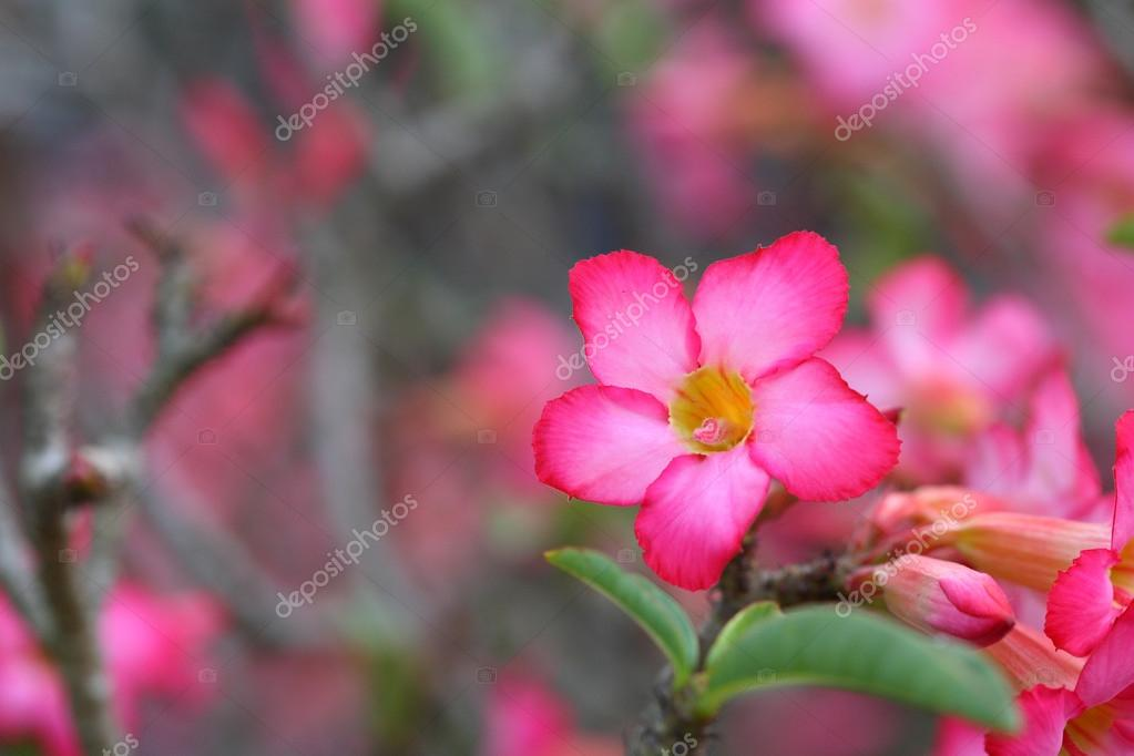 pink Pagoda tree flowers