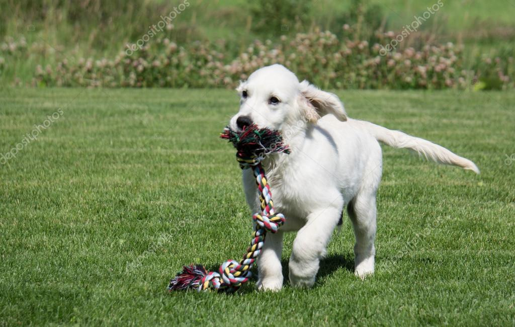 Golden Retriever Puppy running with tug rope
