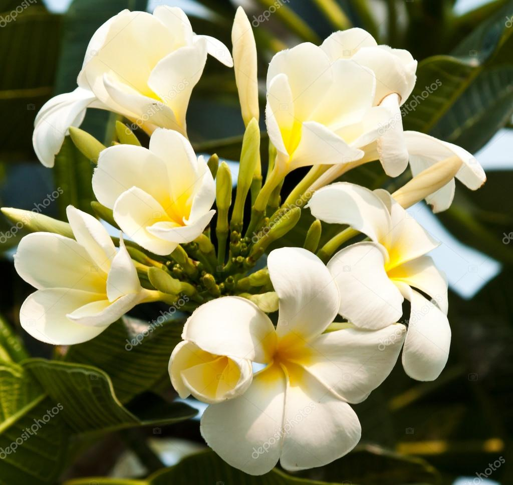 frangipani,Plumeria flowers