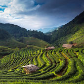 Fotografia piantagione di tè in doi ang khang, chiang mai, Thailandia