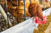 Chicken farm.