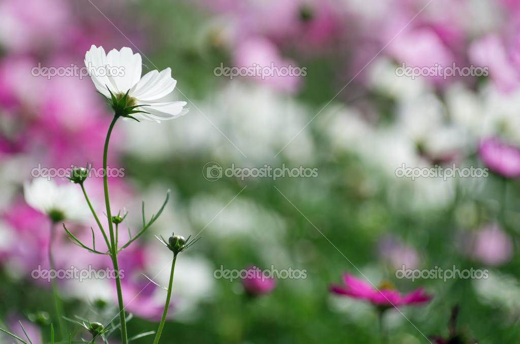 schöne weiße Kosmos Blume — Stockfoto © nirutdps #43976727