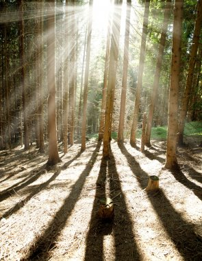 Morning pine forest, sun shining rays through the trees