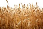 zblízka stébla pšenice na bílém pozadí