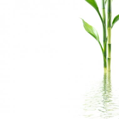 Young bamboo with water reflection over white background