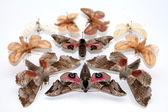 Rovartani gyűjtemény-ból pillangók