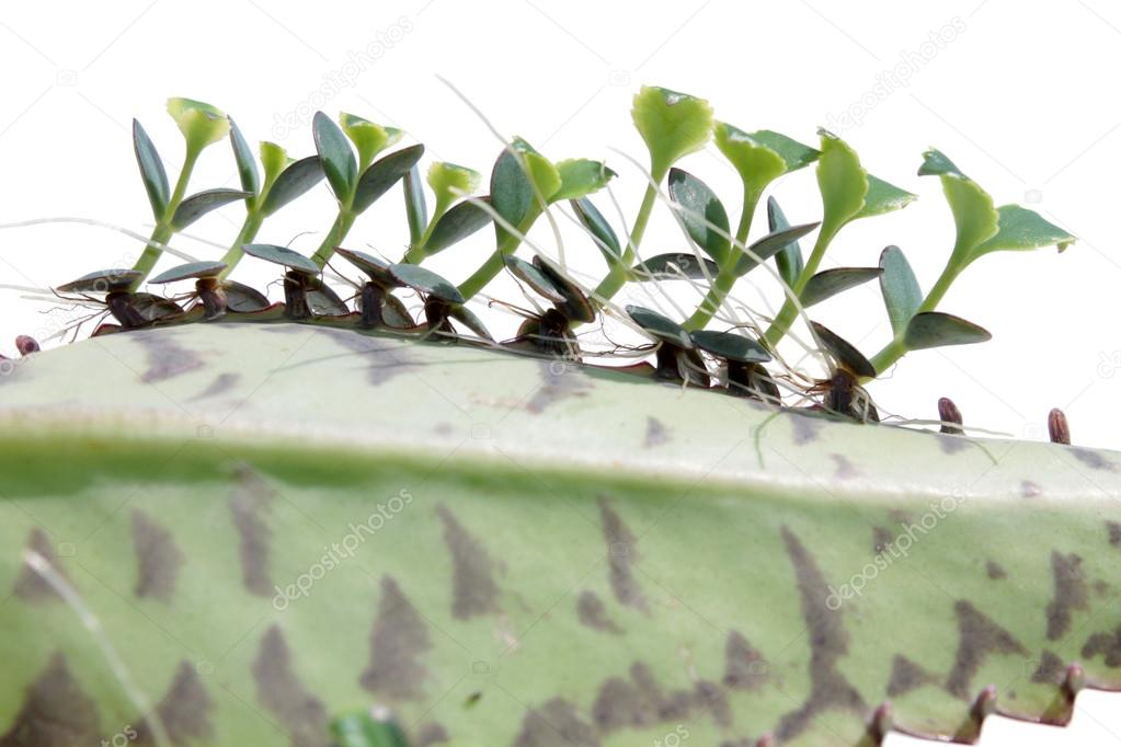 Young plants of Kalanchoe on leaf