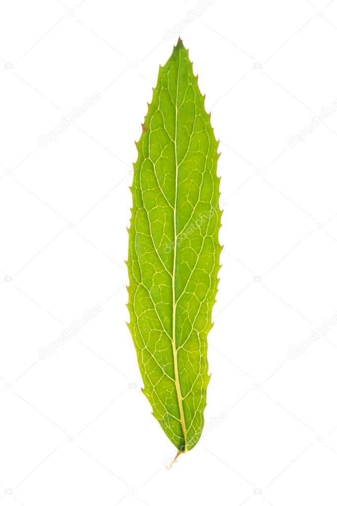 Green leaf of Great willowherb isolated on white