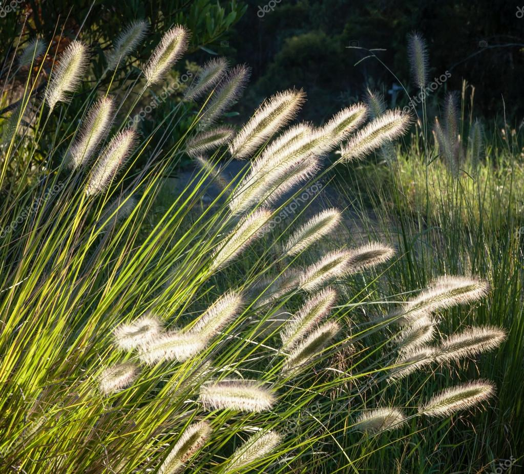 Flowers of Australian Grass Pennisetum alopecuroides Glowing in