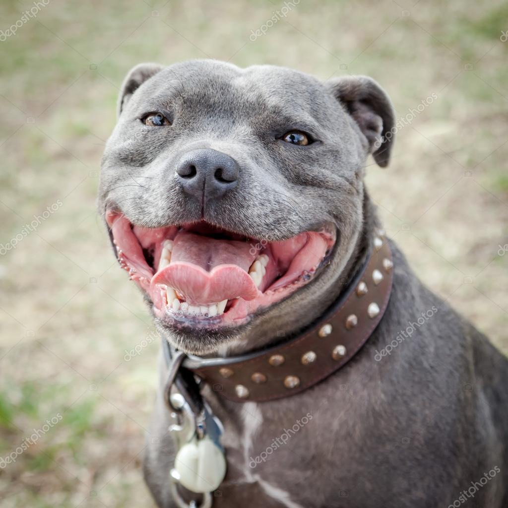 Favoritos cabeza de staffordshire bull terrier con boca abierta — Fotos de  OZ78