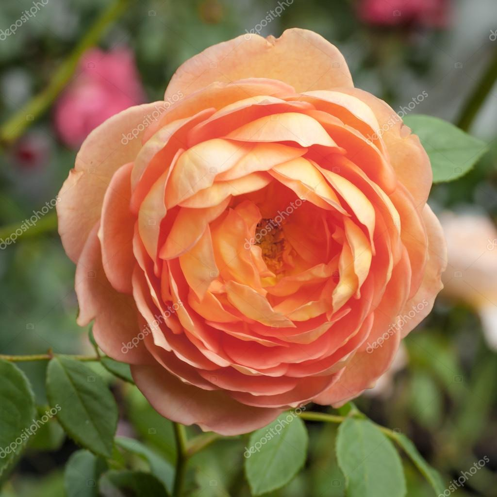 Orange Pink Peach Lady of Shalott David Austin Rose Flower